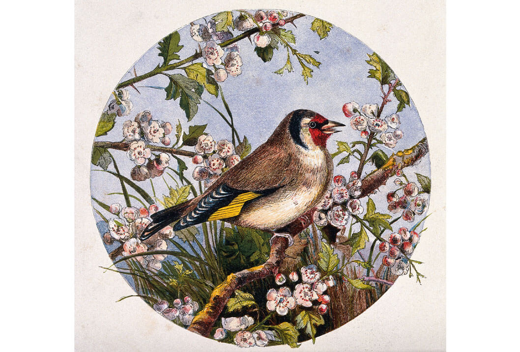 A goldfinch on a branch of cherry blossom, Chromolithograph, Wellcome Collection, License CC.