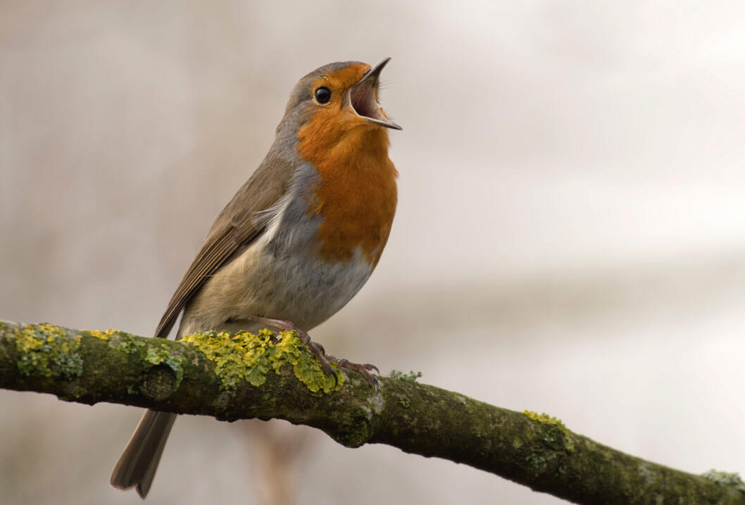 Robin Singing For Spring, Photo by Jan Meeus on Unsplash.